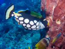 Clown Triggerfish Royalty-vrije Stock Foto