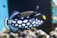 Clown triggerfish Stock Images