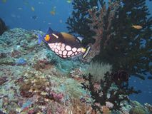 Clown triggerfish Stock Photo