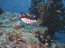 Clown triggerfish Stock Photo