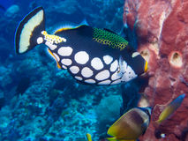 Clown Triggerfish Royaltyfri Foto
