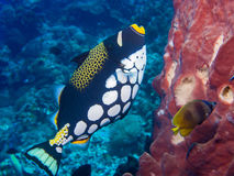 Clown Triggerfish Photographie stock libre de droits