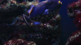 Clown Triggerfish stock video footage
