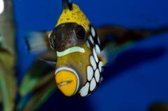 Clown Triggerfish Images libres de droits