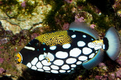 Clown Triggerfish in Aquarium Stock Photos