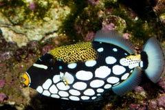Clown Triggerfish in Aquarium Stock Photos