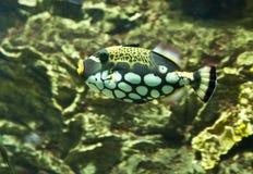 Clown triggerfish (Balistes conspicillum) Stock Image