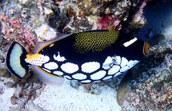 Clown triggerfish Balistoides conspicillum also known as the Bigspotted triggerfish stock images