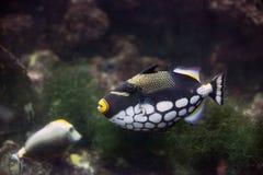 Clown Triggerfish Balistoides conspicillum in aquarium stock photography