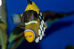 Clown Triggerfish. Balistoides conspicillum in an aquarium with blue background Royalty Free Stock Images