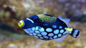 Clown Triggerfish, Balistoides conspicillum, i akvarium Royaltyfri Foto