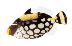 Clown triggerfish, ertsadervissen, die op wit ba worden geïsoleerds Royalty-vrije Stock Foto's