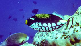 Clown triggerfish in the indian ocean, Maldives. royalty free stock images