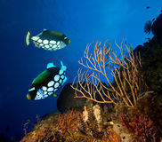 Clown Triggerfishes Royalty Free Stock Photography