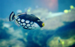 Clown Triggerl Fish Stock Image