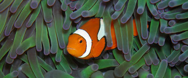Clown vrai Anemonefish Images libres de droits