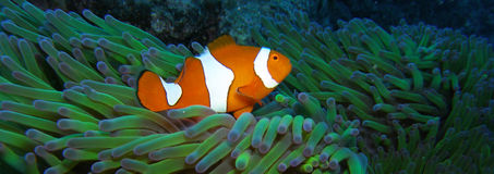 Clown vrai Anemonefish Nemo Photographie stock libre de droits