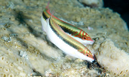 Clown Wrasse royalty-vrije stock foto