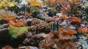 Clownanemonefish och exotiskt fiskbad, korallrev arkivfilmer