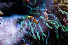 Clownfisch-Fischschwimmen im Aquarium lizenzfreie stockfotos