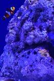 Clownfisch schwimmt nahe einem großen Stein tief im Wasser Lizenzfreie Stockbilder