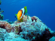 Clownfische Stockfotografie
