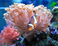 Clownfische Lizenzfreie Stockbilder