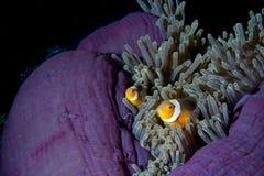 Clownfische in der Anemone mit Garnelen in Raja Ampat Papua, Indonesien Lizenzfreies Stockbild