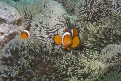 Clownfische in der Seeanemone arbeiten vor Balicasad-Insel im Garten Stockfotos