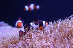 Clownfische in der Seeanemone lizenzfreie stockbilder