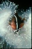 Clownfische in der weißen Anemone Lizenzfreie Stockfotos