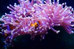 Clownfische, die in der Anemone sich verstecken Lizenzfreie Stockbilder