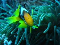 Clownfische, die seine Anemone im Roten Meer verteidigen stockbilder