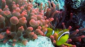 Clownfische im Anemonenabschluß, Rotes Meer Egypt stock footage
