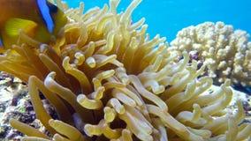 Clownfische im Anemonenabschluß, Rotes Meer Egypt stock video