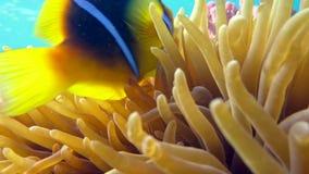 Clownfische im Anemonenabschluß, Rotes Meer Egypt stock video footage