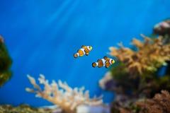 Clownfische im Aquarium Stockfotografie