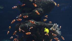 Clownfische im Aquarium stock video