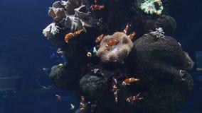 Clownfische im Aquarium stock video footage