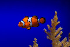 Clownfische im blauen Ozean Stockbilder