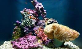 Clownfische im Korallenriff des Ozeans Lizenzfreie Stockfotos