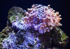 Clownfische mit seiner Anemone Home Stockbild