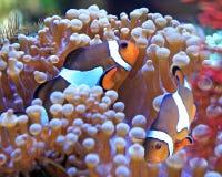 Clownfische und -anemone Lizenzfreie Stockfotos