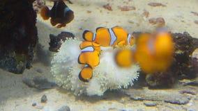 Clownfische und -koralle Wildes Lebentier stock footage