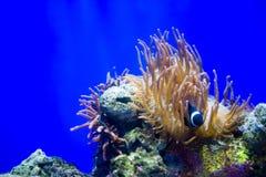 Clownfische und Seeanemone Lizenzfreies Stockbild