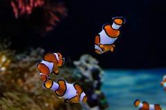Clownfischschwimmen Stockbild