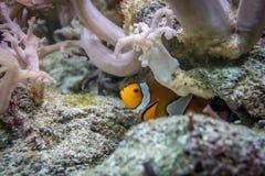 Clownfischverstecken lizenzfreie stockfotografie