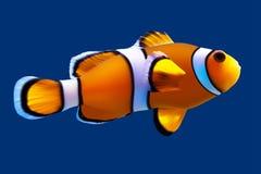 Clownfish。 库存照片