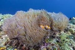 Clownfish双锯鱼在大银莲花属的ocellaris刚孵出的雏 库存图片