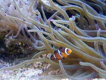 Clownfish和银莲花属 免版税图库摄影